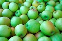 Fresh harvested green apples