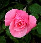 Macro shot of pink rose with raindrops against dark foliage background