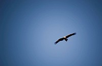 Wedge_Tail eagle in full flight on blue sky with copy space