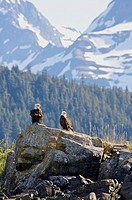 Bald Eagles, Juneau, AK