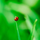 Little red Ladybird on the top grass blade selective focus on ladybird back
