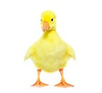 cute gosling isolated on a white