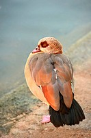 Egyptian Goose alopochen aegyptiacus resting on one leg by the edge of a still pond.
