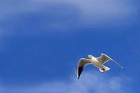 White dove flying with wings open against blue sky
