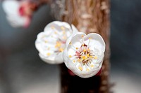 Close_up of white prunus blossoms in Spring