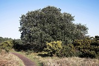 Quercus ilex Holm Oak, Evergreen, or Holly Oak, Dunwich Heath, Suffolk, England