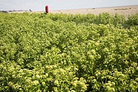Alexanders in flower, smyrnium olusatrum, growing by shingle beach, Suffolk, England