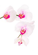 orchid phalaenopsis species isolated on white background