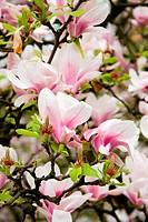 Pink magnolia flowers on a tree