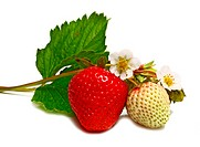 white and red strawberry and blossom on branch isolated on white background