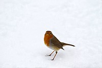 European Robin Erithacus rubecula adult, standing on snow, Norfolk, England, february