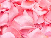 beautiful pink rose petals background