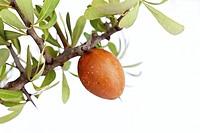 Argan nut on an Argan (Argania spinosa) tree near Essaouira, Morocco, Africa