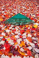 Garden rake lying on carpet of autumn leaves. Vancouver, Washington, USA