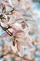 Magnolia sprengeri ´Diva´, Magnolia, Pink subject.