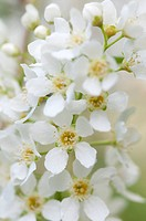 Spiraea arguta, Bridal wreath, White subject.
