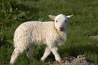 Lamb, Wales