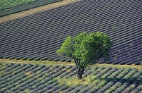 Lavender fields, tree, near Ferrassieres, Provence, France, Europe