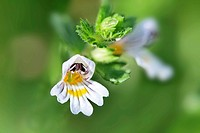 Blossom of the medical plant Eyebright Euphrasia.