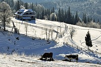 cattle grazing in Dzembronya landscape in Ukraine Carpathian Mountains