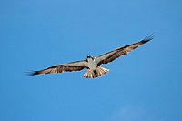 Osprey pandion haliaetus in flight with a blue sky background
