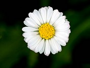 Macro of a beautiful daisy flower with shallow depth of field