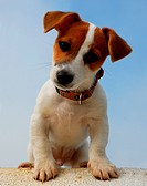 portrait of a purebred jack russel terrier