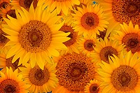 Wonerfully warm yellow Sunflower petals background closeup