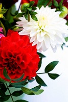 bunch of dahlias in front of white surface