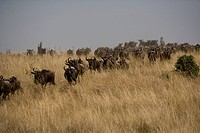 Wildebeest running towards the river on migration