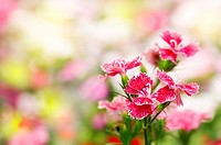 Dianthus chinensis flower