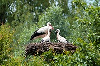 Family of White Storks Ciconia ciconia, Alsace, France, Europe