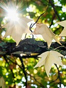 Sweetgum tree at fall with sparkling sun