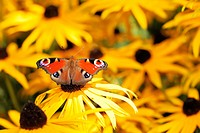 Red peacock butterfly in a field of yellow flowers
