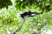 A male Mantled Howler monkey Alouatta palliata defends his territory by howling to ward of other approaching males. Costa Rica