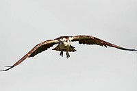 Osprey pandion haliaetus in flight