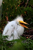 Baby Great Egret Ardea alba in a nest in the Florida Everglades