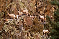 Colorado, Almont. Bighorn Sheep.