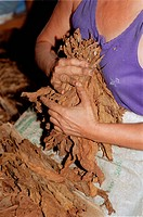 Handling tobacco leaves at the Partagas cigar factory in Havana, Cuba