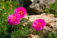 pink flowers on stone in a garden
