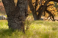 Oak along Oak Tree Trail, Santa Rosa Plateau Ecological Preserve, California