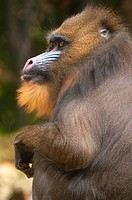 Mandrill Mandrillus sphinx, captive animal