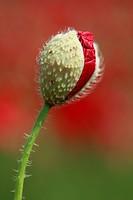 Red Poppy, Papaver rhoeas