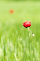 Poppy flower in a green, wheat field
