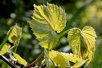 Young grape leaves in the spring at Lake Balaton, Hungary