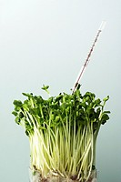 studio shoot, sprout, radish sprouts, thermometer