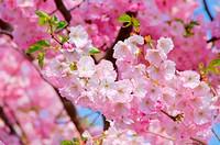 Kirschblüte rosa _ cherry blossom 24