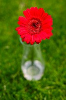 Red gerbera flower against green blur background