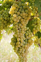 Bunches of white grapes hanging on a vine in Spain.