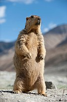 A Himalayan Marmot stands up to survey its surroundings